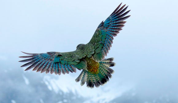 A kea in flight displaying colourful feathers. Photo: Mat Goodman.