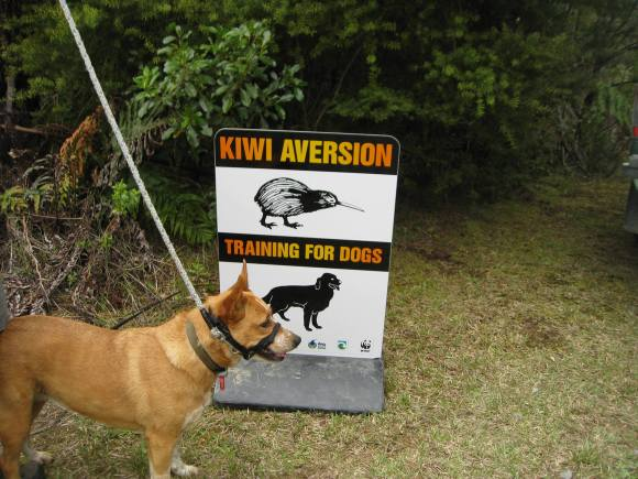 A dog in front of the sign at kiwi aversion training. Photo: Cherry Beaver.