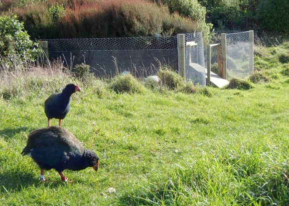 Two takahē on Mana Island.