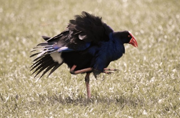 Pukeko on Raoul Island. Photo: Sarah Matthew.