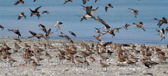 Godwits landing on the Motueka sandspit after their migration from Alaska.
