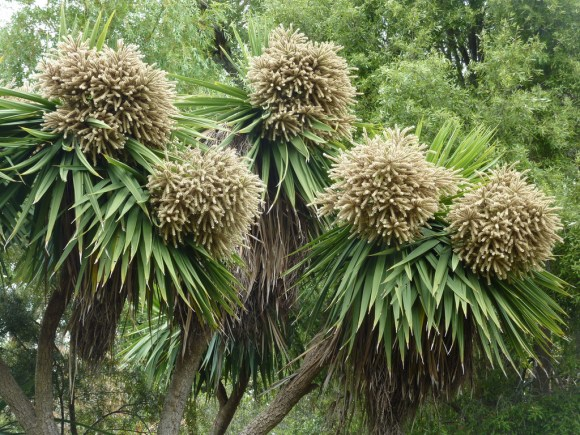 Ti kouka / cabbage tree in flower. Photo: Jon Sullivan.