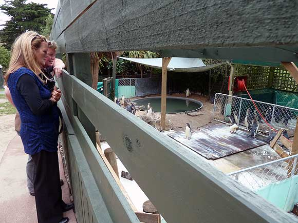 Penguin Place's Lisa King (at rear) and DOC's Andrea Crawford, look on as the chicks are rounded up for their dinner.