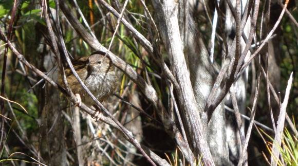 Codfish Island fernbird. Photo: Abbey McMillan.