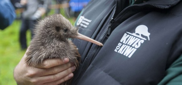 Kiwi being released on Motutapu. Photo by Kiwis for Kiwi.