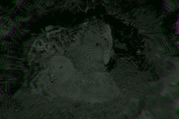 Kakapo foster mother Esperance caring for a chick on remote Whenua Hou / Codfish Island.