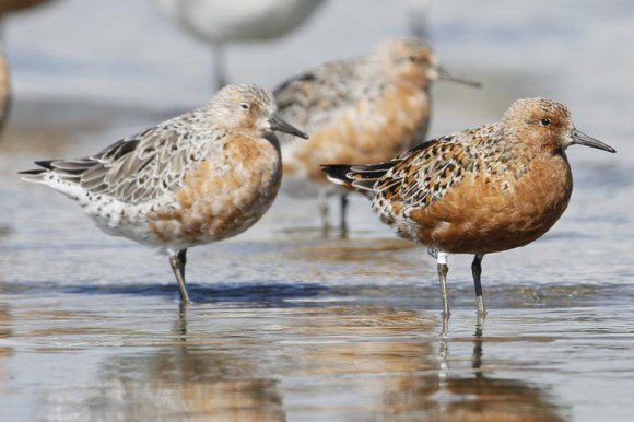 Red knot in plumage near the shore.