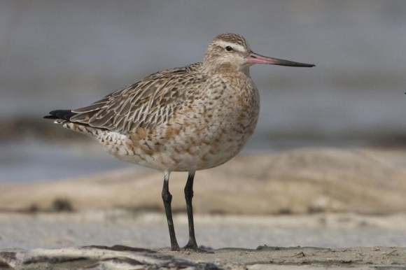 A plump and pale male godwit.