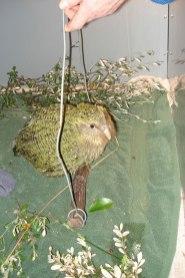 Daryl Eason teaching kākāpō chicks to hop on a weighing perch