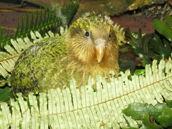 Kakapo chick looking at the camera.