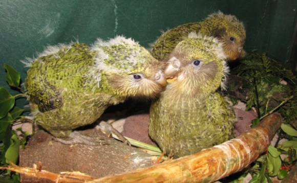 The three kākāpō chicks together.