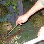 Daryl Eason teaching kākāpō chicks to hop on a weighing perch.