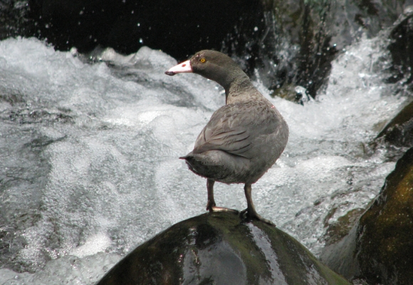 Adult whio/blue duck standing on a rock by a river in the wild.