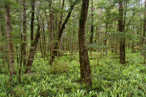 Ferny Glade, Iris Burn Valley, Fiordland National Park. Day 3 of the Kepler Track.