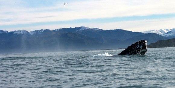 Humpback whale. Photo: Ann McCaw.