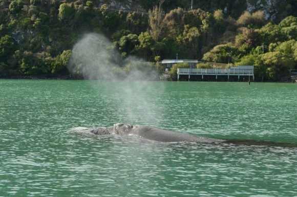 Southern right whale in Otago Harbour. Photo: Stephen Jaquiery