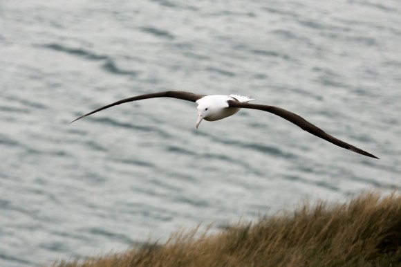 Northern Royal Albatross. Photo: Sy | flickr | CC BY-NC-SA 2.0.