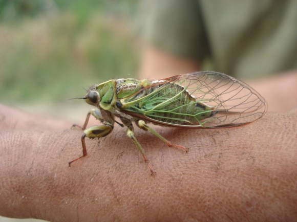 Cicada. Photo: Andy Hicks.