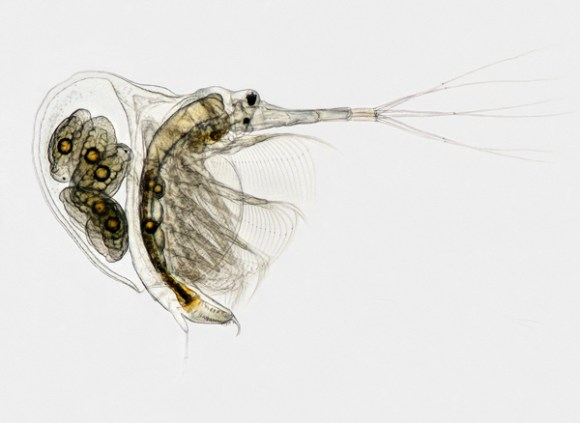 A 1.02 mm female Cladoceran (Water Flea). Photo copyright: Ian Gardiner. All rights reserved. Used with permission.