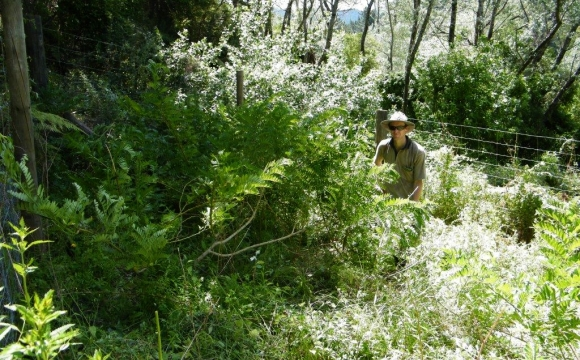 Ranger Don with a wild kakabeak plant near Gisborne.
