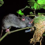 Ship rat eating fantail chicks at nest
