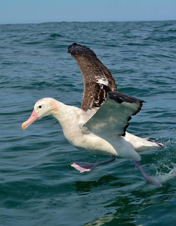 Gibson's wandering albatross . Photo: Katherine Clements.