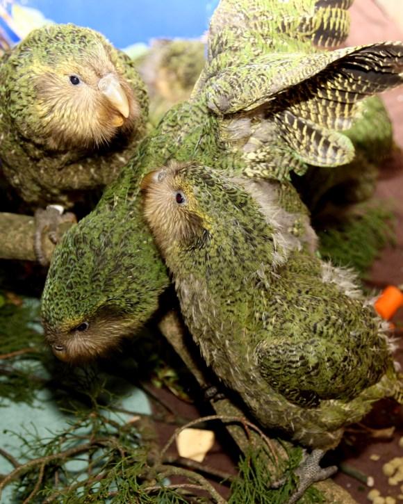 2009 kakapo chicks. Photo: Dianne Mason.