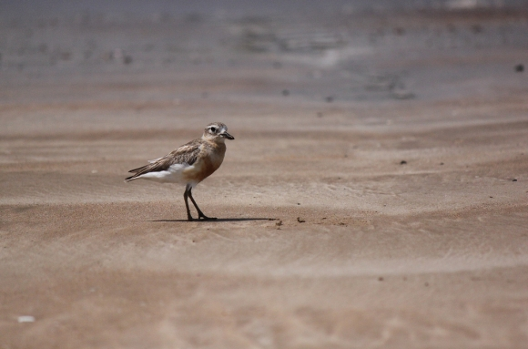 New Zealand dotterel/tūturiwhatu. Photo: Timothy Musson | CC BY-NC-SA 2.0.