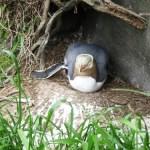 Yellow-eyed penguin bravely protecting her egg.
