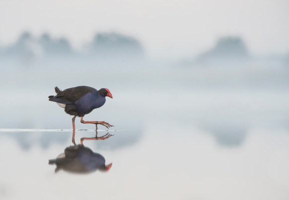 Pūkeko: Another image from the Australasian Bird Fair photo competition.