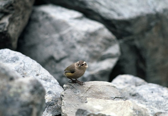 Rock wren, Jane Peak, Eyre Mountains. Photo: Graeme Loh.