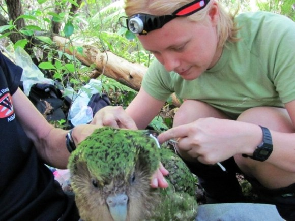 Rose checking a transmitter on a  kākāpō.