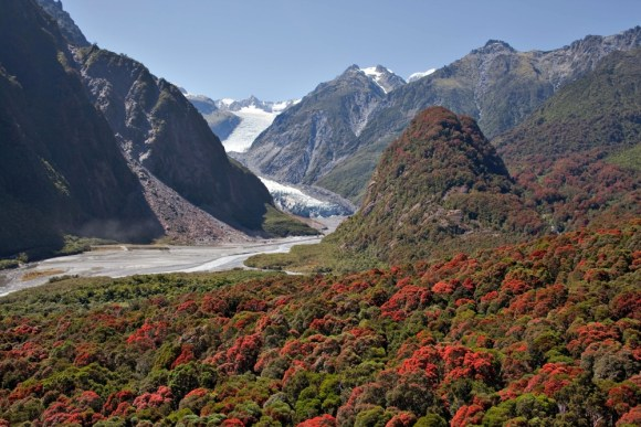 Franz Josef glacier surrounded by rata trees in flower.