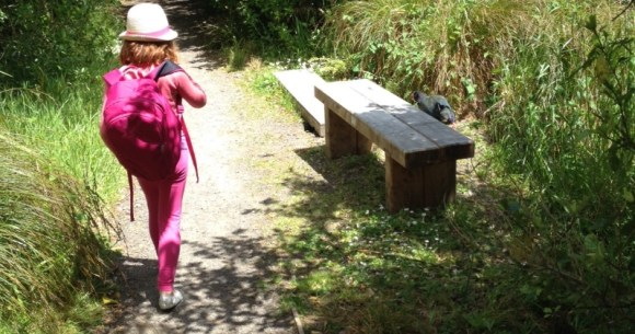 Chasing a takahē at Zealandia.
