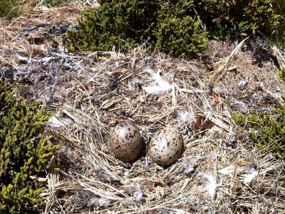 Black-backed gull nest with eggs.