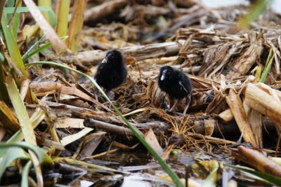Pūkeko chicks. Photo: Des Williams.
