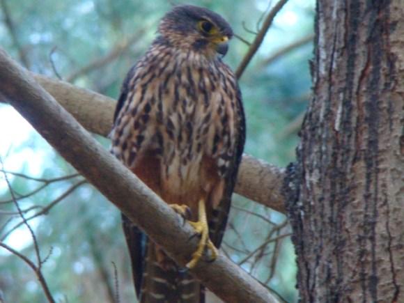 An adult New Zealand falcon/kārearea.