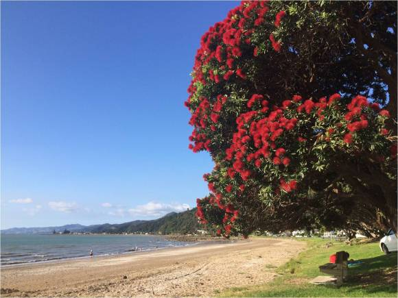 The pohutukawa in bloom is an icon of New Zealand summer.