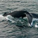 Southern Ocean humpback whale. Photo: Dave Allen (NIWA).