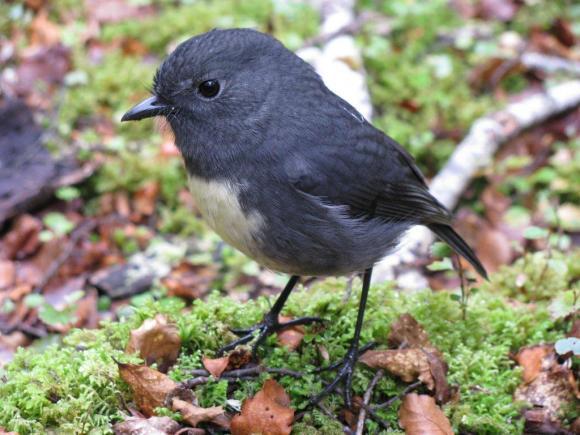 A South Island robin. Photo: Helen Clark.