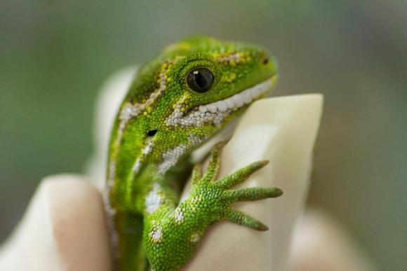 Close up of a female jewelled gecko. Photo: Simon Eyre/Wellington Zoo.