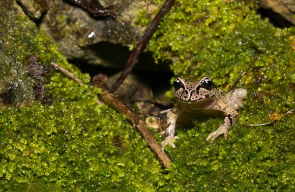 Critically endangered Hamilton's frog. Photo copyright Sabine Bernert.