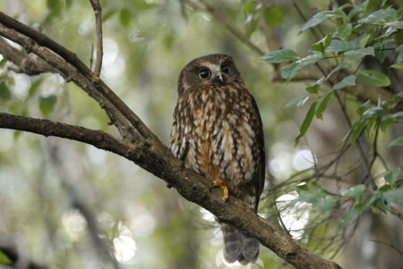 Morepork on a branch during the day. Photo: Manaaki Barrett.