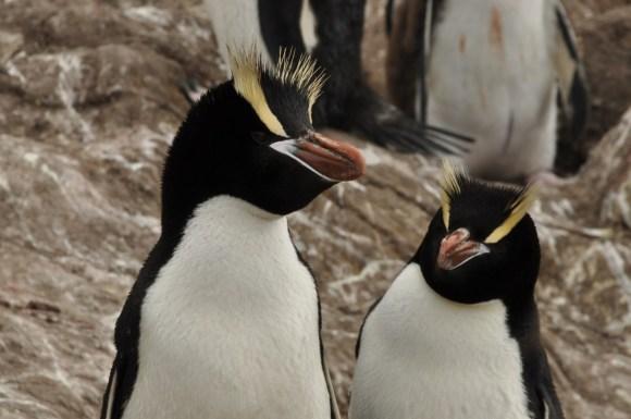 Erect-crested penguins. Photo: Kath Walker.