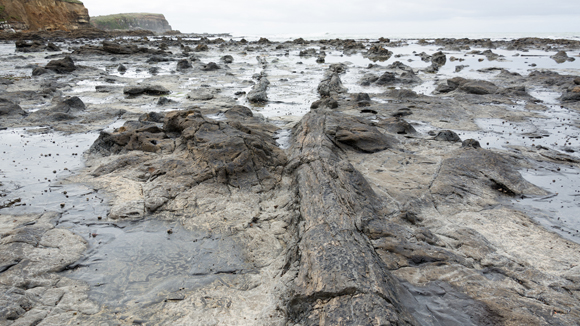 Fossil forest, Curio Bay, Otago, New Zealand. Photo: Christoph Strässler | CC BY-SA 2.0.
