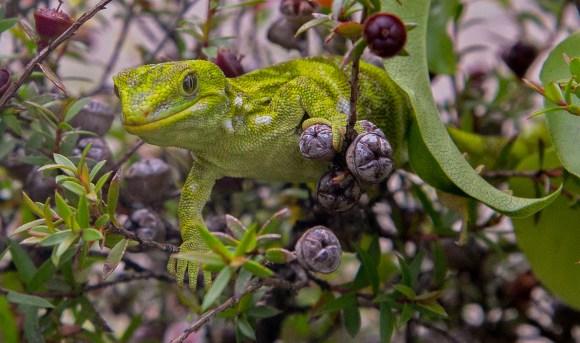 Starred gecko (Naultinus stellatus or Nelson green gecko). Photo copyright Phil Melgren.