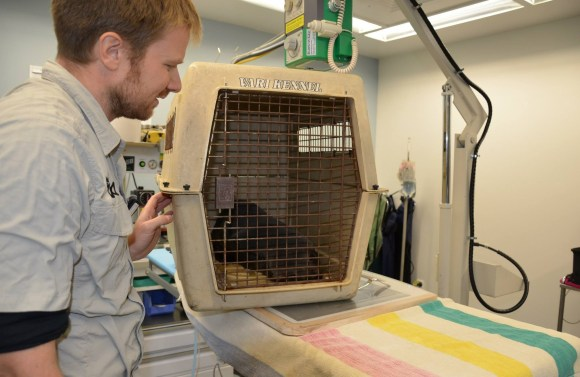 The fur seal in it's crate. Photo: Auckland Zoo.