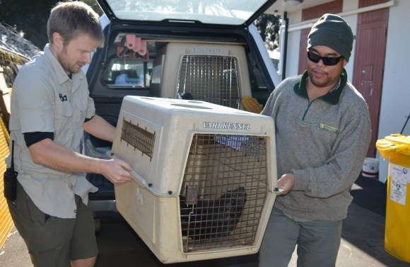 The seal arriving at the New Zealand Centre of Conservation Medicine. Photo: Auckland Zoo.