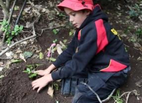 Student plants koheriki in the Maitahi Scientific Reserve..