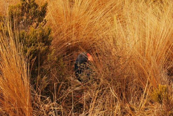 Takahē hiding in the grass at Burwood.